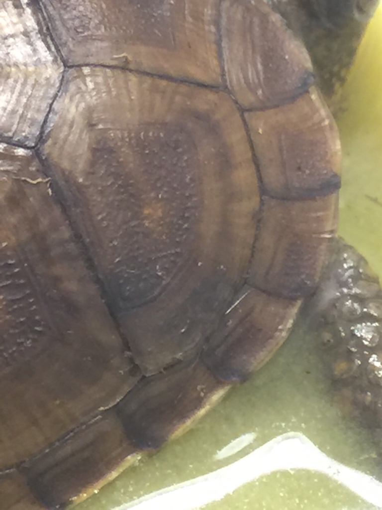 Do box turtles shed? Or shell rot? | Tortoise Forum