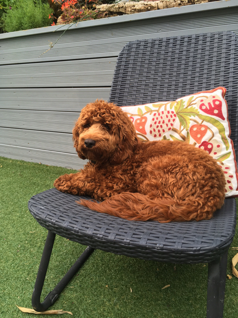 Height And Weight Of Your Cockapoo Archive I Love My