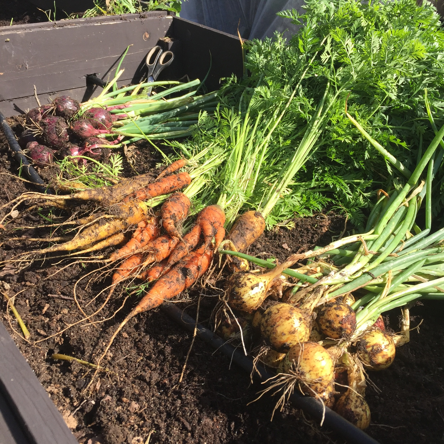 Raised Bed Plan - Carrots, Radish, Yellow Onions, Winter Carrots, and Mache Salad