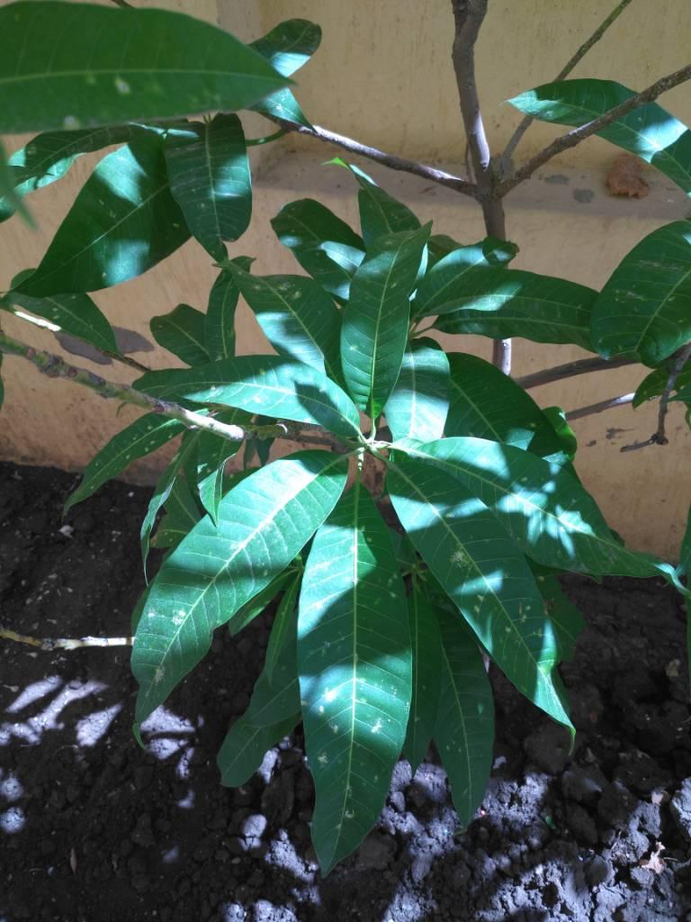 شجرة المانجو مريضة