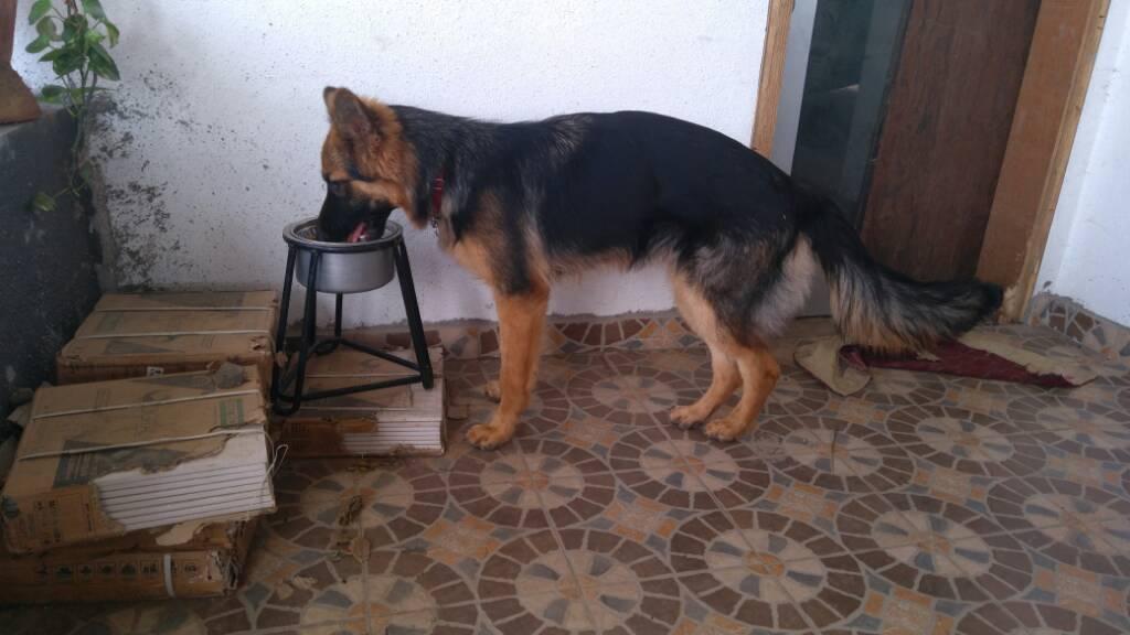 My Small Size Gsd German Shepherd Dog Forums
