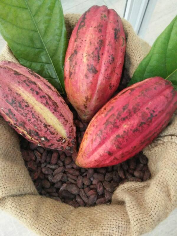 bf3d97e87002b9ab589b93d52794a360 - Cacao Fruit - Philippine Photo Gallery