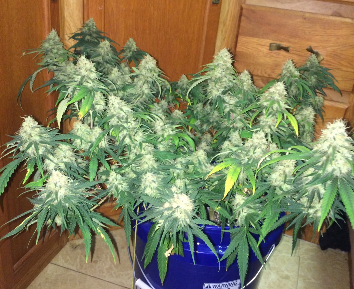 How Many Plants In 2x4 Grow Tent With 10 Gallon Totes