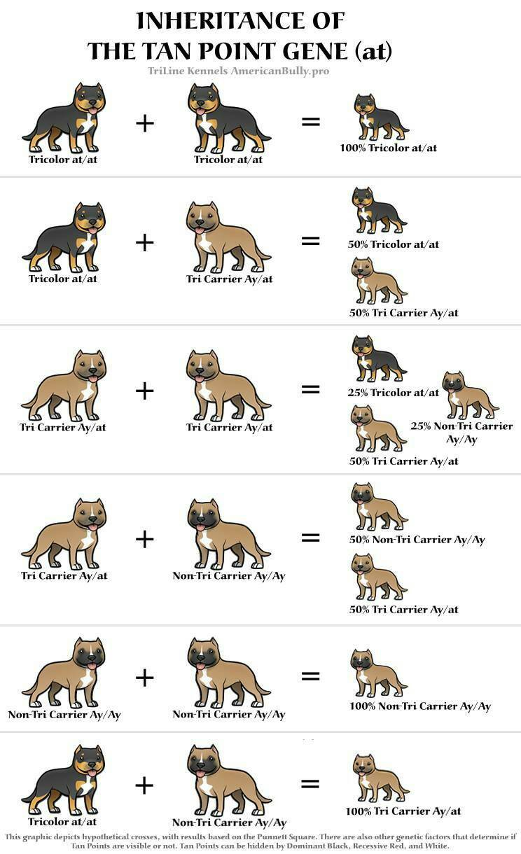 Tri color breeding chart! - Pitbulls : Go Pitbull Dog Forums