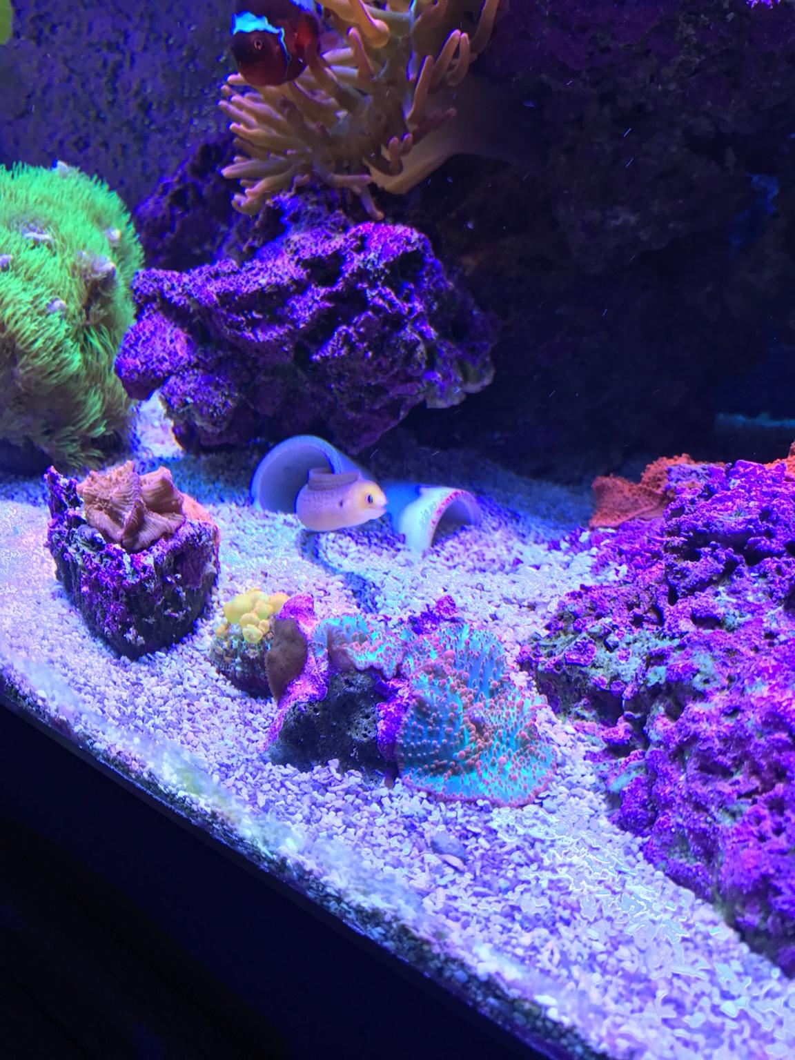 golden dwarf golden moray eel reef2reef saltwater and reef
