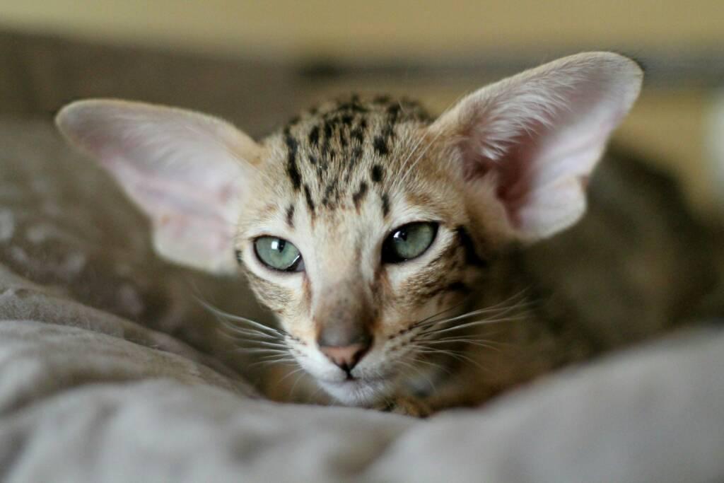 Картинки пород кошек с большими ушами