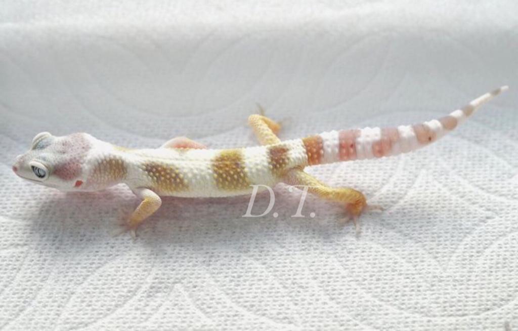 Leopard Gecko Discssion [Archive] - Arowana Fish Talk