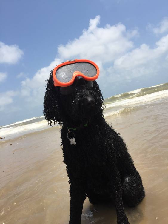 Where to Find Pups? Standard Poodle or Doodle