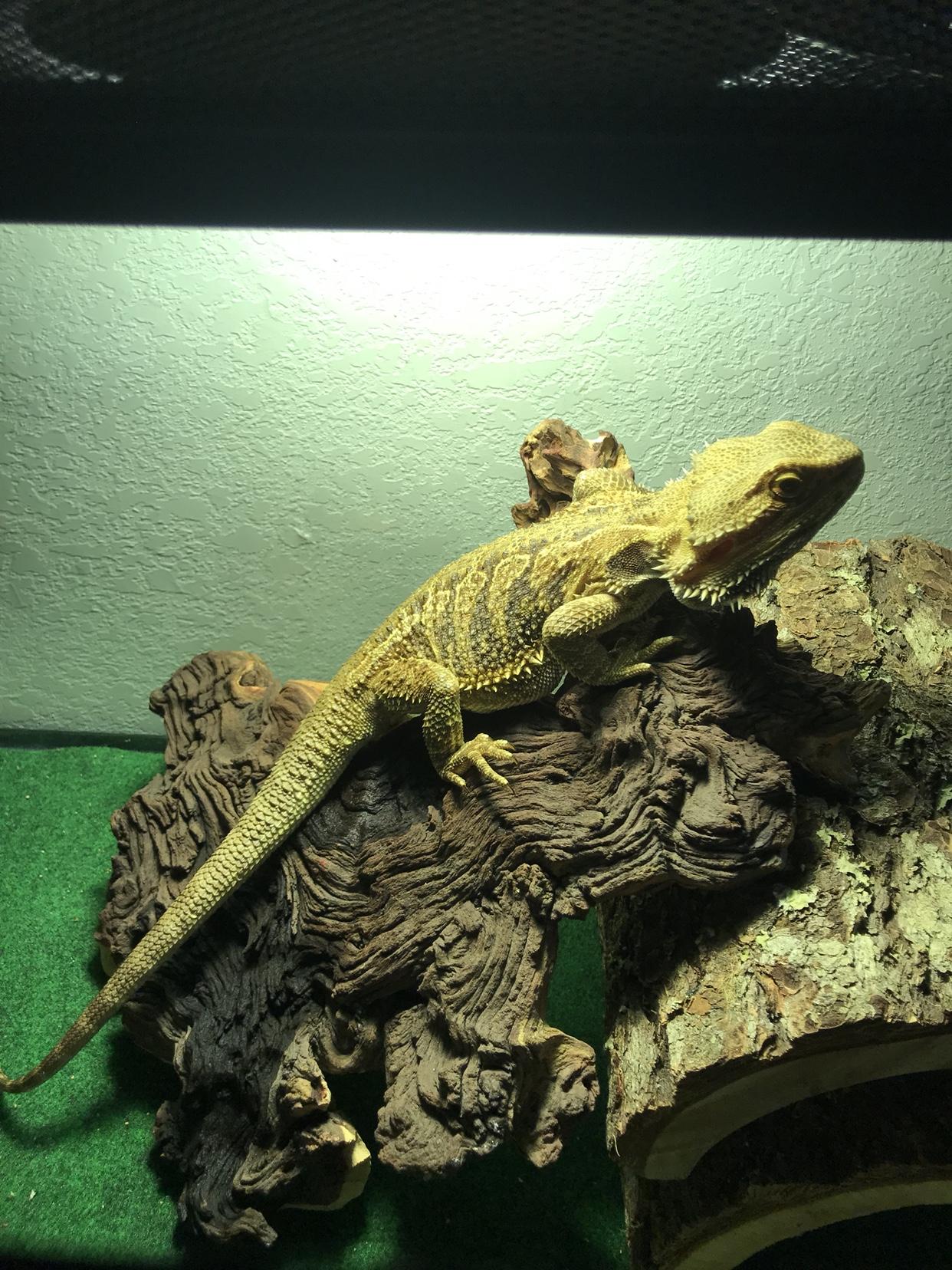 Baby Bearded Dragon For Sale Craigslist