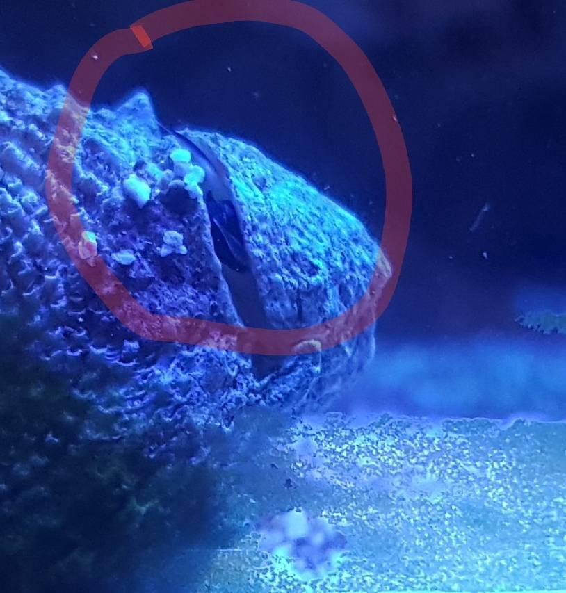 parassita dacqua dolce della lumaca in acquario