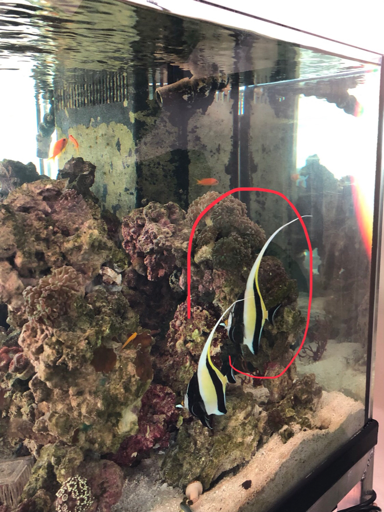 Amazing Moorish Idol Free To Good Home Bay Area Reefers Bar