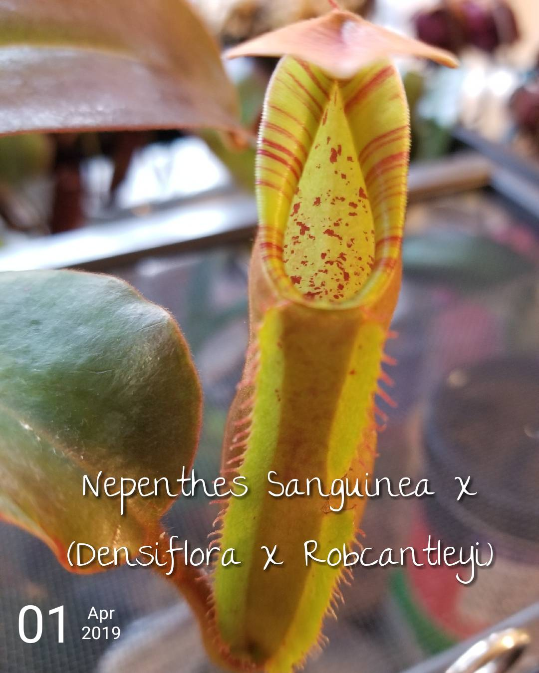 Terraforums Venus Flytrap Nepenthes