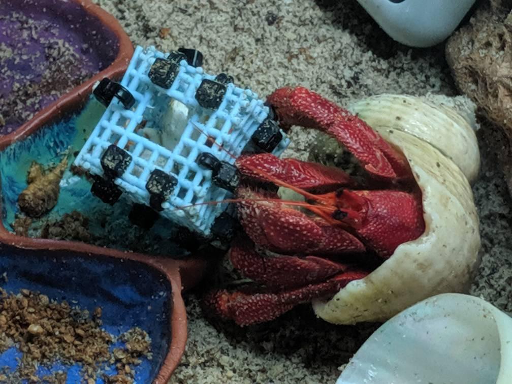 Crabbie Cam Videos (Updated 6/16/19) - Page 2 - HCA: Hermit
