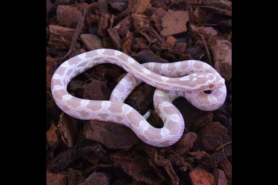1 Litre - FINE Grade PANTHEROPHIS GUTTATUS Substrate for Corn Snakes Ready to USE Corn Snake Bedding