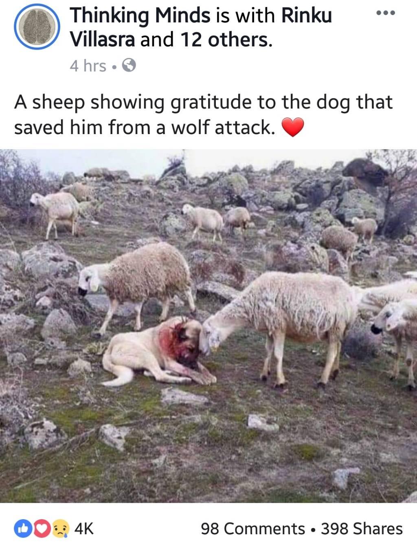 d051b0ffbbd0facf3b4c8ea100bd42e8 - Sheep thanks dog that saves him - Inspiration & Hope